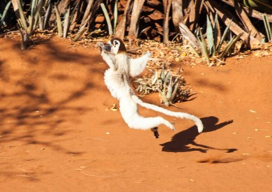 lemur jumping