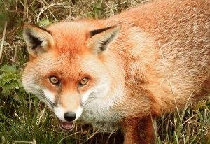 Fox face A4