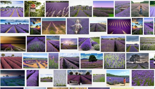 Lavender fiels google